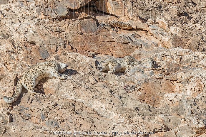 Snow leopard (Uncia uncia) pair on rocks in Altai Mountains. West Mongolia. February. Sequence 3/3.