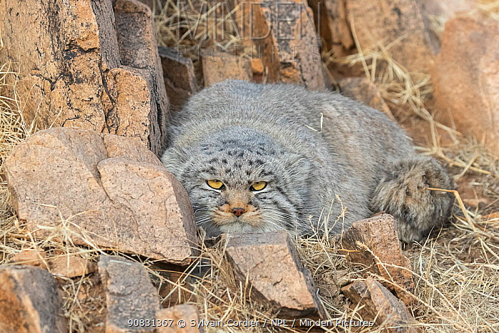 Pallas's cat (Otocolobus manul) lying down amongst rocks. East Mongolia. February.