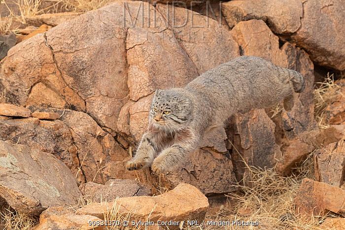 Pallas's cat (Otocolobus manul) leaping amongst rocks. East Mongolia. February.