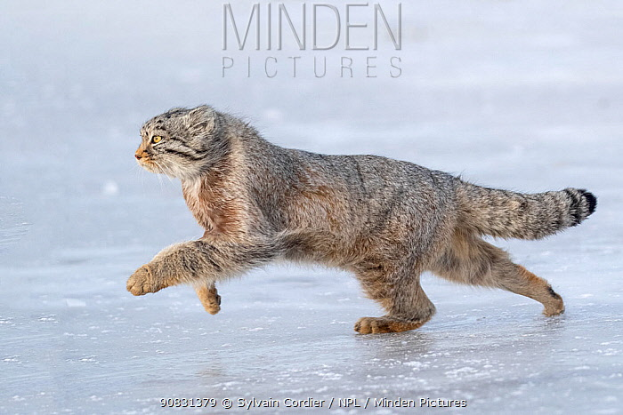 Pallas's cat (Otocolobus manul) running over ice. East Mongolia. February.