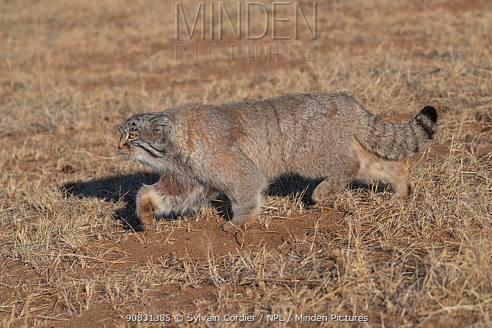 Pallas's cat (Otocolobus manul) walking through steppe. East Mongolia. February.