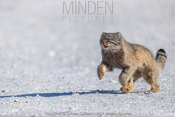 Pallas's cat (Otocolobus manul) running. East Mongolia. February.