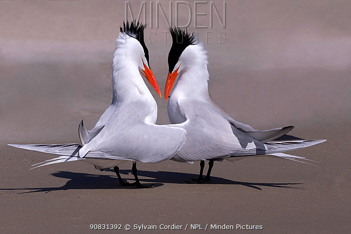 RF-Royal tern (Thalasseus maximus) pair in courtship ritual. Puerto San Carlos, Magdalena Bay, Baja California Sur, Mexico. (This image may be licensed either as rights managed or royalty free)