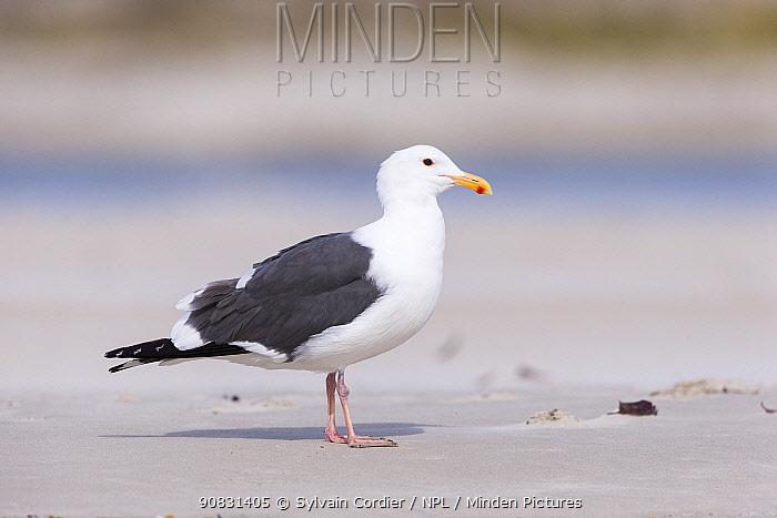 Western gull (Larus occidentalis) on beach. Magdalena Bay, Puerto San Carlos, Baja California Sur, Mexico.