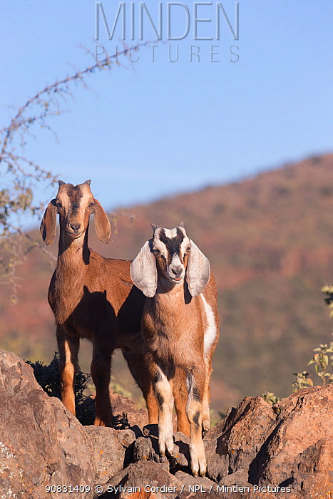 Two Goats standing amongst rocks. San Francisco, Sierra de San Francisco, Mulege, Baja California Sur, Mexico.