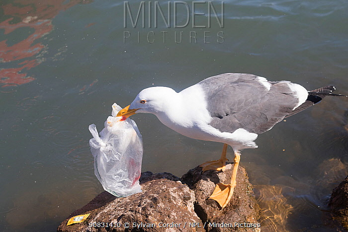 Yellow-footed gull (Larus livens) with plastic bag in beak, standing on rock. Loreto Bay National Marine Park, Baja California Sur, Mexico. 2017.