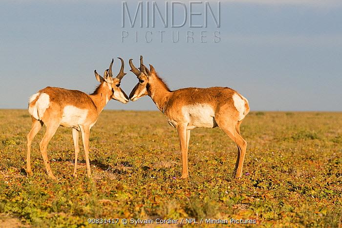 Baja California pronghorn (Antilocapra americana peninsularis), two bucks standing nose to nose. Baja California Desert National Park, Guerrero Negro, Baja California Sur, Mexico.