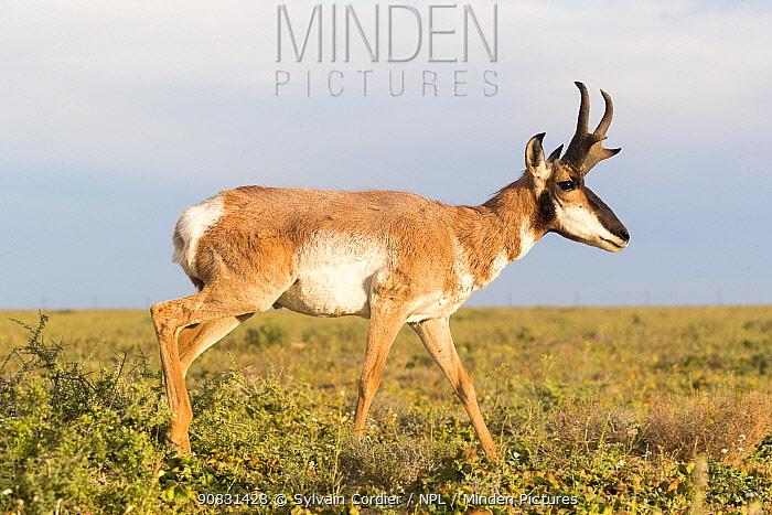 Baja California pronghorn (Antilocapra americana peninsularis), buck. Baja California Desert National Park, El Vizcaino Biosphere Reserve, Baja California Sur, Mexico.