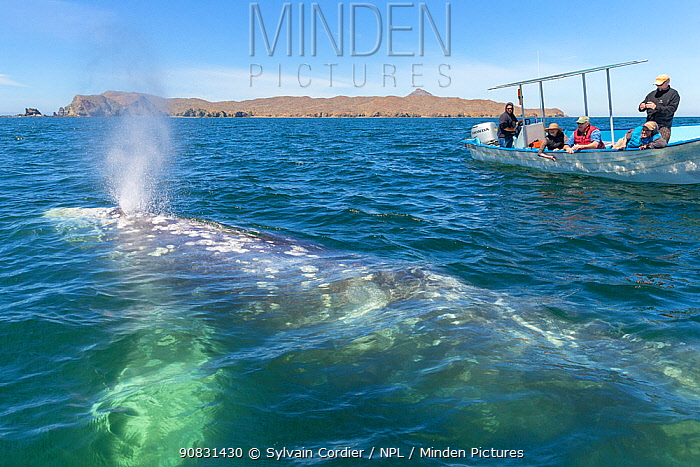 Grey whale (Eschrichtius robustus) blowing, tourists observing from boat in background. Magdalena Bay, Puerto San Carlos, Baja California, Mexico. 2017.