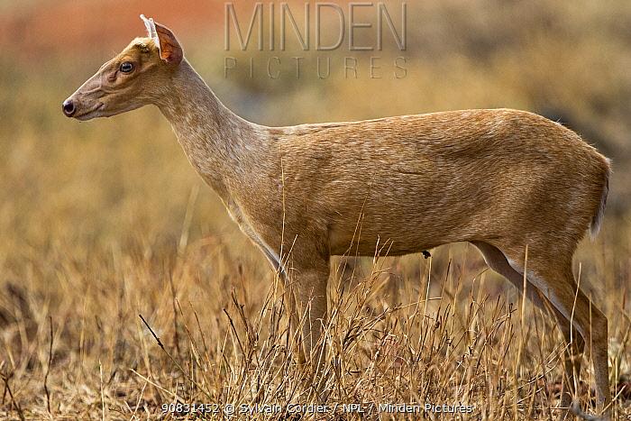 Muntjac deer (Muntiacus muntjak) female. Tadoba Andhari Tiger Reserve / Tadoba National Park, Maharashtra, India.