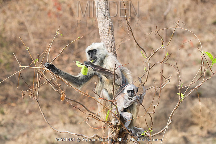 Bengal hanuman langur (Semnopithecus entellus) female and baby eating leaves whilst sitting in tree. Jim Corbett National Park, Uttarakhand, India.