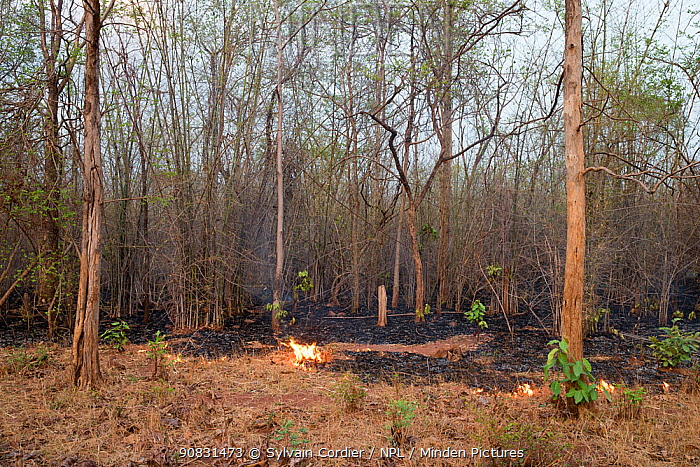 Fire along track in forest, management to clear vegetation. Tadoba Andhari Tiger Reserve / Tadoba National Park, Maharashtra, India.