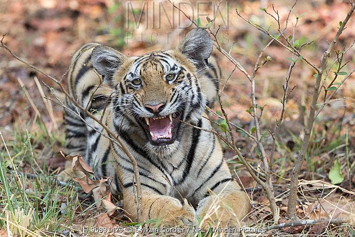 Bengal tiger (Panthera tigris tigris), young animal growling. Tadoba Andhari Tiger Reserve / Tadoba National Park, Maharashtra, India.
