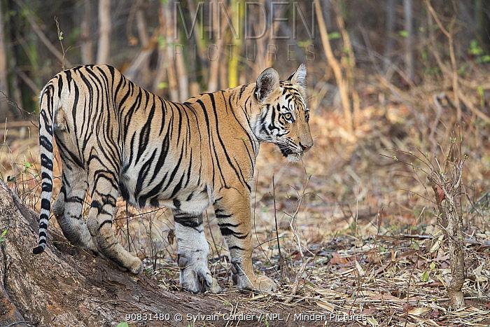 RF-Bengal tiger (Panthera tigris tigris), young animal standing at base of tree. Tadoba Andhari Tiger Reserve / Tadoba National Park, Maharashtra, India. (This image may be licensed either as rights managed or royalty free)