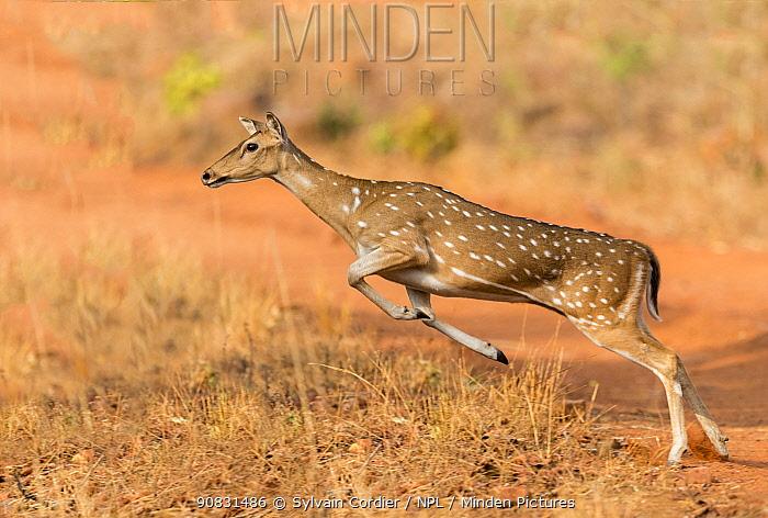 Chital (Axis axis) female leaping. Tadoba Andhari Tiger Reserve / Tadoba National Park, Maharashtra, India.