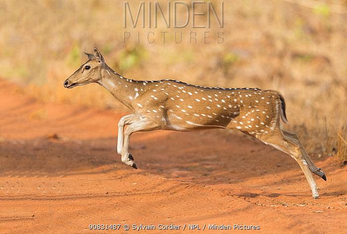 Chital (Axis axis) female running across track. Tadoba Andhari Tiger Reserve / Tadoba National Park, Maharashtra, India.