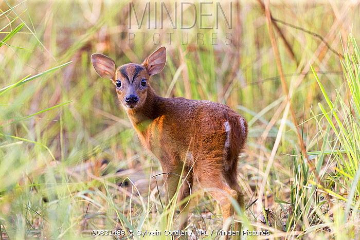 Muntjac deer (Muntiacus muntjak) fawn. Jim Corbett National Park, Uttarakhand, India.
