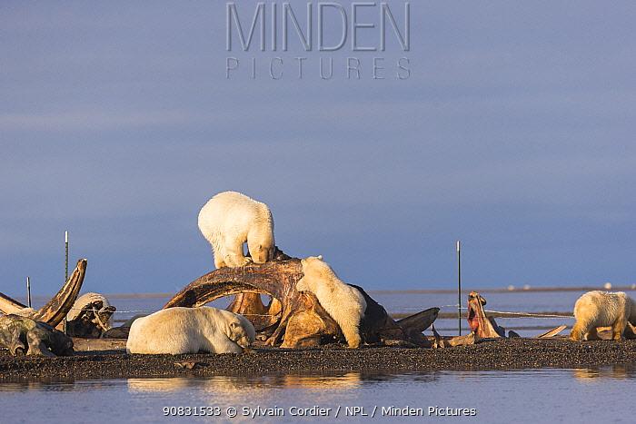 Polar bear (Ursus maritimus) group feeding around Bowhead whale (Balaena mysticetus) carcasss and bone pile, whales hunted by locals. On barrier island near Kaktovik, Arctic National Wildlife Refuge, Alaska, USA. October.