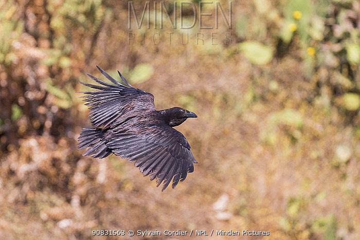 Fan-tailed raven (Corvus rhipidurus) in flight. Debre Libanos, Rift Valley, Ethiopia.