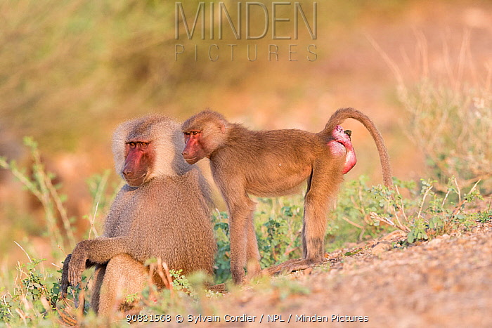 Hamadryas baboon (Papio hamadryas), two, dominant male sitting and female standing. Awash National Park, Rift Valley, Ethiopia.