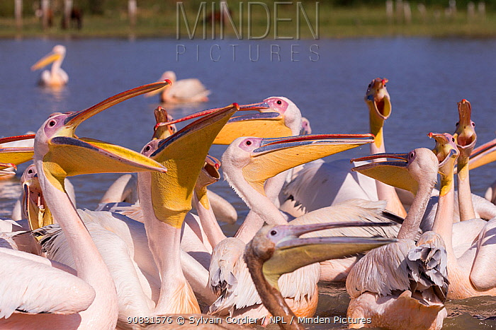Great white pelican (Pelecanus onocrotalus) group waiting for fish remains to be thrown by fishermen. Lake Ziway, Rift Valley, Ethiopia.