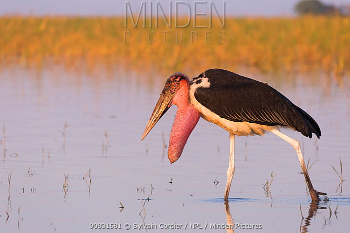 Marabou stork (Leptoptilos crumenifer) with prominent throat sacwading in Lake Ziway, Rift Valley, Ethiopia.