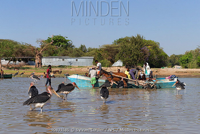 Marabou stork (Leptoptilos crumenifer) waiting for discarded fish to be thrown from boat by fishermen. Lake Ziway, Rift Valley, Ethiopia. 2017.