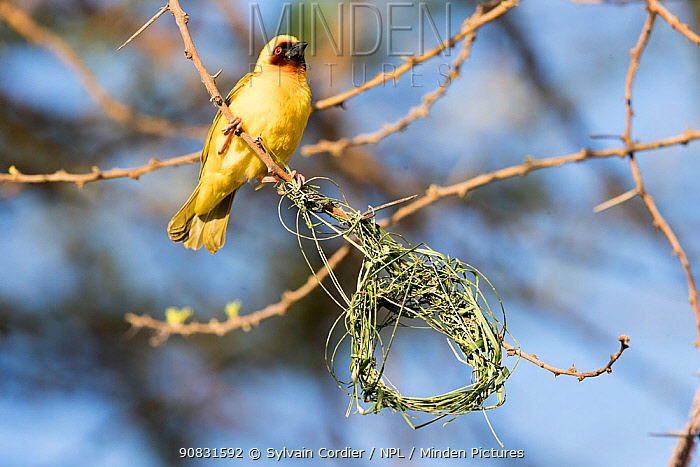 Village weaver (Ploceus cucullatus) building nest. Lake Ziway, Rift Valley, Ethiopia.