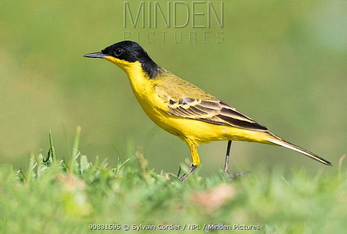 Black-headed wagtail (Motacilla flava feldegg) hunting insects. Lake Ziway, Rift Valley, Ethiopia.