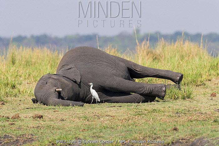 African elephant (Loxodonta africana) carcass and Egret (Egretta sp), Elephant dead from anthrax. Chobe National Park, Botswana.