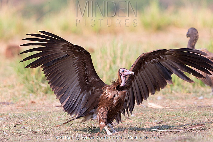 Hooded vulture (Necrosyrtes monachus) with wings outstretched. Chobe National Park, Botswana.