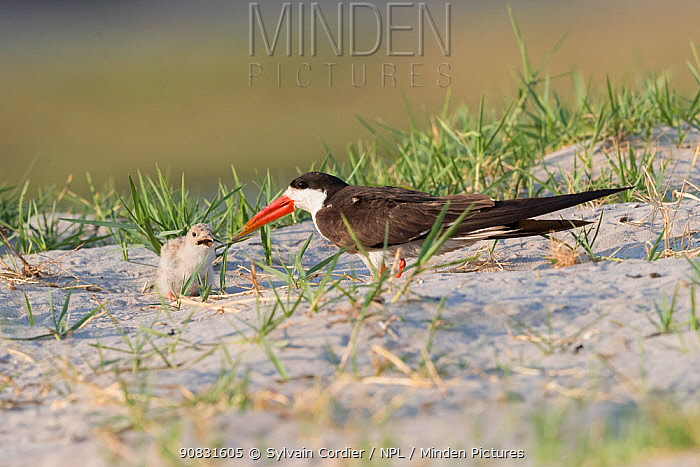 African skimmer (Rynchops flavirostris) feeding chick, chick with fish in beak. Near nest in sand, Chobe National Park, Botswana.