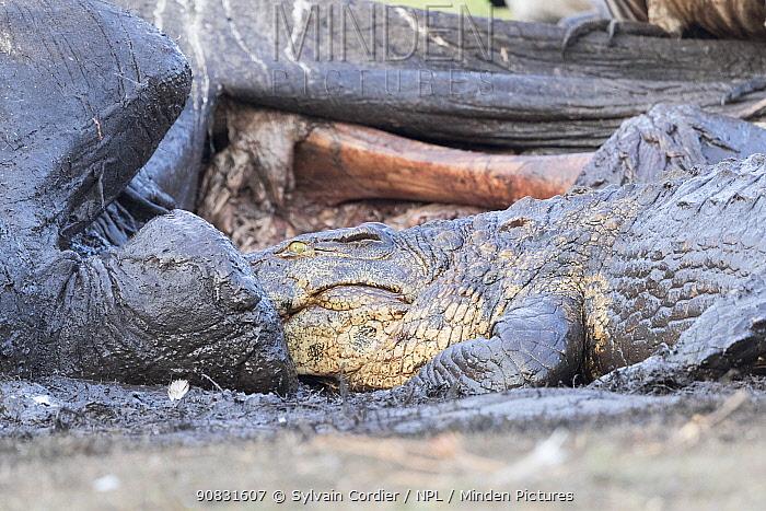 Nile crocodile (Crocodylus niloticus) feeding on African elephant (Loxodonta africana) carcass. Elephant killed by anthrax. Chobe National Park, Botswana.