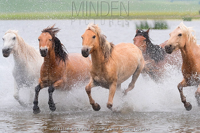 RF-Herd of horses running through water. Bashang Grassland, near Zhangjiakou, Hebei Province, Inner Mongolia, China. (This image may be licensed either as rights managed or royalty free)