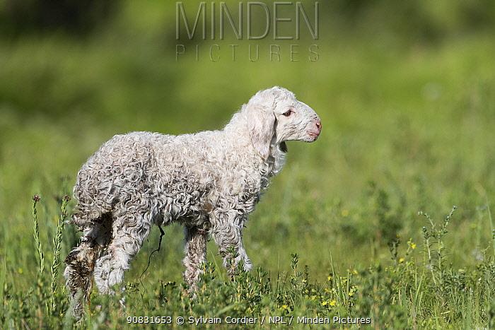 Newborn lamb standing in Bashang Grassland. Zhangjiakou, Hebei Province, Inner Mongolia, China.
