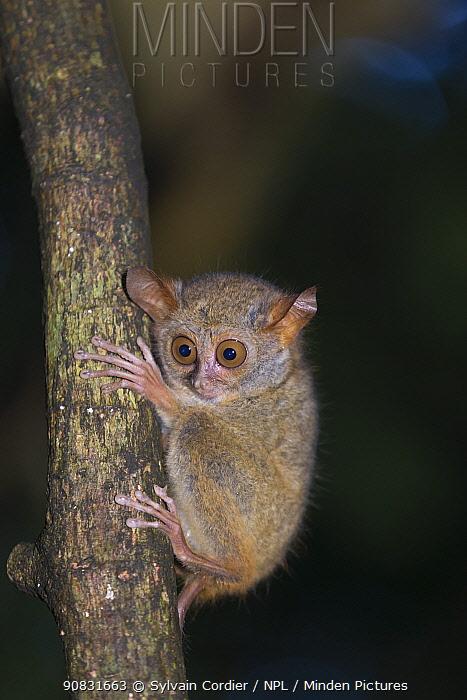 Spectral tarsier (Tarsius tarsier) on tree trunk at night. Tangkoko National Park, Sulawesi, Indonesia.