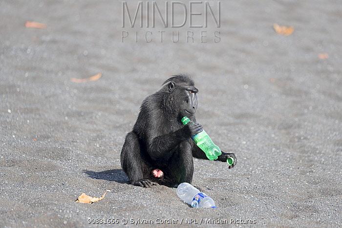Celebes crested macaque (Macaca nigra) holding plastic bottle, on black sand beach. Tangkoko National Park, Sulawesi, Indonesia.