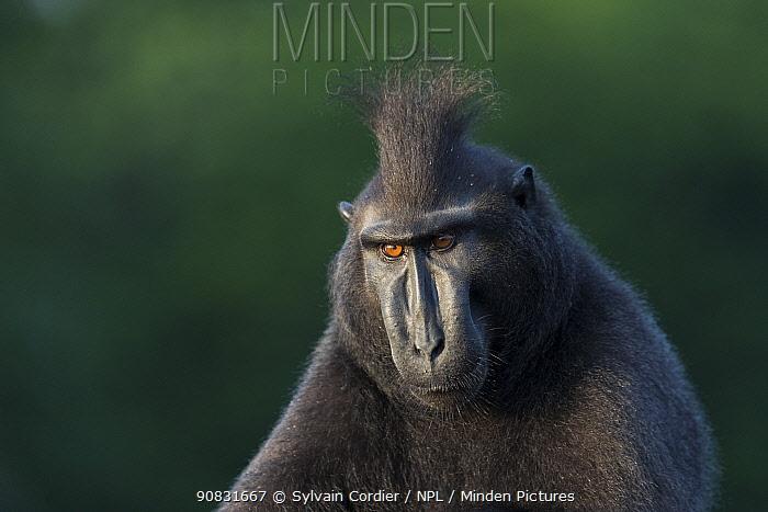 Celebes crested macaque (Macaca nigra) male, portrait. Tangkoko National Park, Sulawesi, Indonesia.