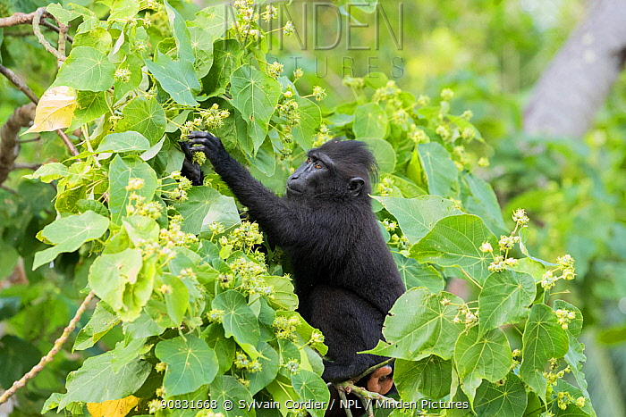Celebes crested macaque (Macaca nigra), young animal picking fruit in tree. Tangkoko National Park, Sulawesi, Indonesia.