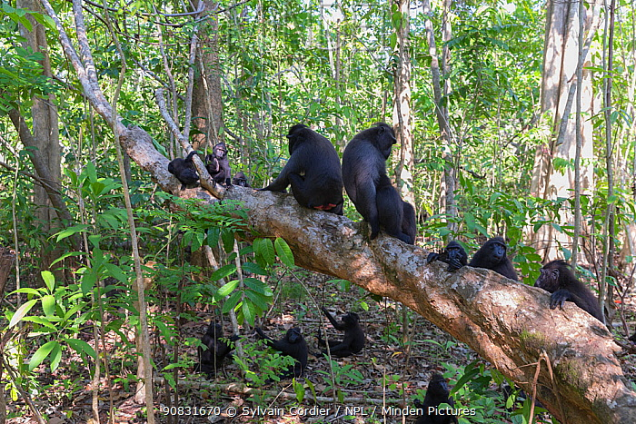 Celebes crested macaque (Macaca nigra) group sitting on and amongst trees in forest. Tangkoko National Park, Sulawesi, Indonesia.