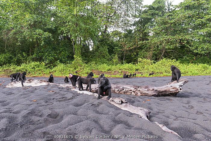 Celebes crested macaque (Macaca nigra) group on black sand beach. Tangkoko National Park, Sulawesi, Indonesia.