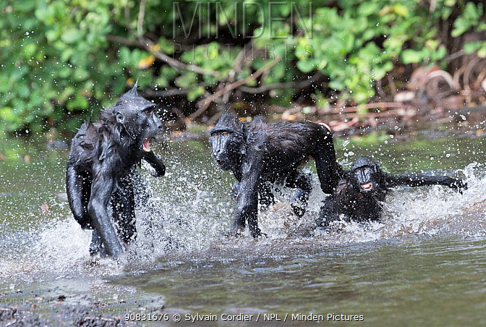 RF-Celebes crested macaque (Macaca nigra) group in river. Tangkoko National Park, Sulawesi, Indonesia. (This image may be licensed either as rights managed or royalty free)