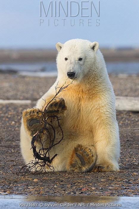 Polar bear (Ursus maritimus) cub playing with wood whilst sitting.On barrier island near Kaktovik. Arctic National Wildlife Refuge, Alaska, USA. September.