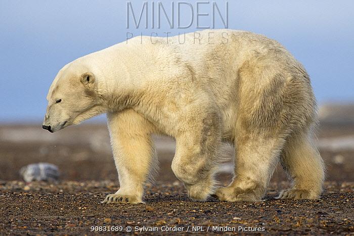 Polar bear (Ursus maritimus) walking on barrier island near Kaktovik. Arctic National Wildlife Refuge, Alaska, USA. September.