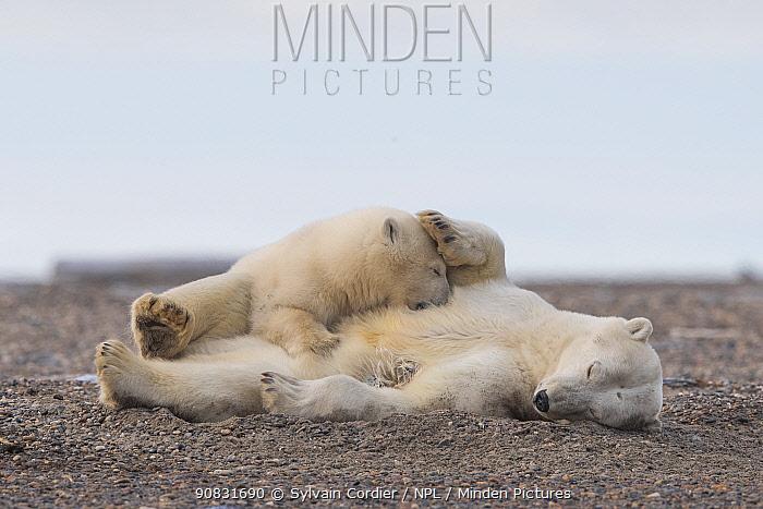 Polar bear (Ursus maritimus) female and cub resting on barrier island near Kaktovik. Arctic National Wildlife Refuge, Alaska, USA. September.