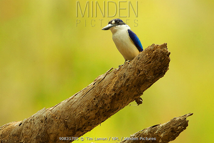 Forest kingfisher (Todiramphus macleayii) at the Saltwater Creek campsite in Lakefield National Park, Cape York Peninsula, Queensland, Australia.