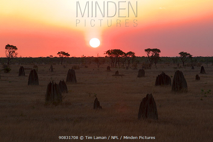 Sunset and termite mounds on the Nifold Plain in Lakefiled National Park, Cape York Peninsula, Queensland, Australia. August 2012