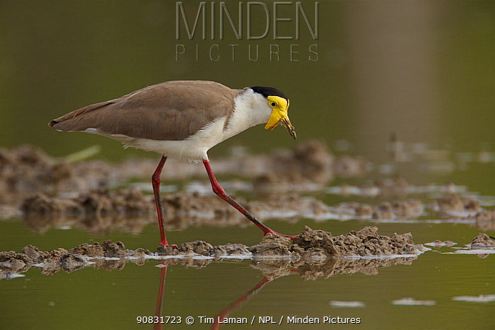 Masked Lapwing (Vanellus miles) in the lagoon behind the beach at Running Creek. Queensland, Australia.