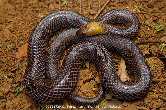 Brown-headed Snake (Furina tristis). Piccaninny Plains Sanctuary, Cape York Peninsula, Queensland, Australia.Venomous.