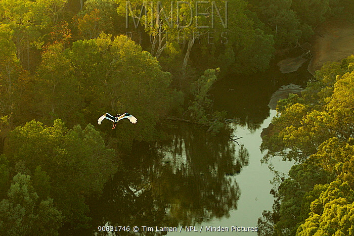 Black-necked stork (Ephippiorhynchus asiaticus) flying over Archer River and adjacent gallery forest. Piccaninny Plains Sanctuary, Cape York Peninsula, Queensland, Australia